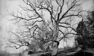 Greenwood oak